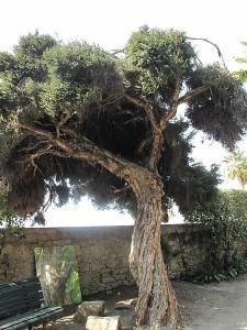 tea tree oil, tree, melaleuca alternifolia