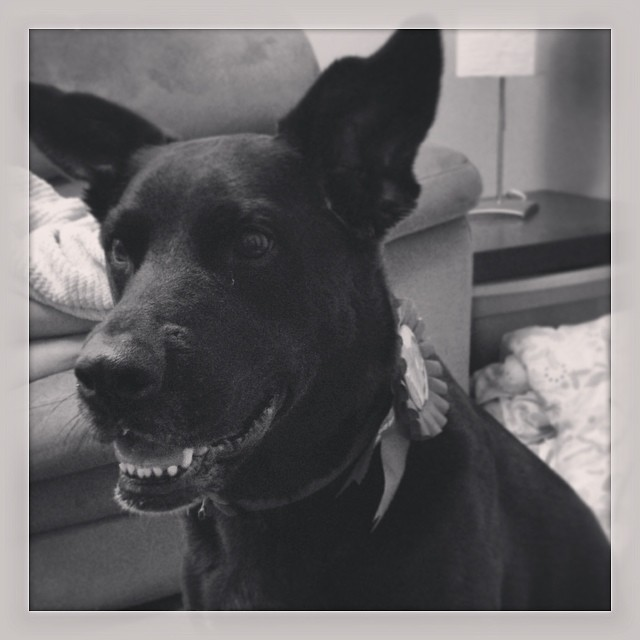 The birthday girl! Happy Birthday Roxy! #roxy #dogsofinstagram #dog #ridgeback #lab #birthday #puppy  #ypsilanti #ypsi #doggie #birthdaygirl